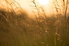 Fields of Gold (VintageLensLover) Tags: gräser wiesen felder natur outdoor golden sonnenuntergangsstimmung samyang135mmf2 sonya7ii bokeh schärfentiefe schärfeverlauf dof