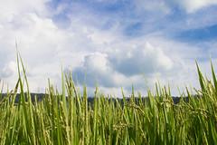 Rice Field (Nancy CJ Hsu) Tags: rice field sky nature cloud taiwan