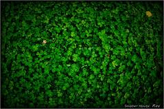 Secret of the Four Leaf Clover... (SHADOWY HEAVEN Aya) Tags: 180523ep1s0233 北海道 日本 ファインダー越しの私の世界 写真好きな人と繋がりたい 写真撮ってる人と繋がりたい 写真の奏でる私の世界 coregraphy japan hokkaido tokyocameraclub igers igersjp phosjapan picsjp green clover fourleafclover 四つ葉