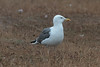 Lesser Black-backed Gull (graellsii) - 4CY - August - UK (Keith V Pritchard) Tags: 4cy 4thcalendaryear august dorset larusfuscusgraellsii lesserblackbackedgull portlandbill uk gull laridae seagull