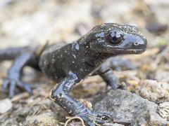 P6100025 (turbok) Tags: alpensalamandersalamandraatra repttilien tiere wildtiere c kurt krimberger
