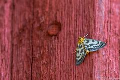 Nokkoskoisa (Anania hortulata), Small Magpie (pohjoma) Tags: hyönteinen hyönteiset koisa nokkoskoisa perhonen ananiahortulata smallmagpie insect butterfly moth canoneos7dmarkii canonef100400mmf4556lisiiusm finland