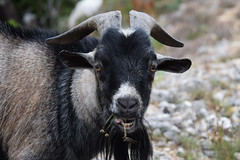 Goat @ Route d'Ardèche 01-07-2018 (Maxime de Boer) Tags: goat geit route dardèche france gods creation schepping creator schepper genesis