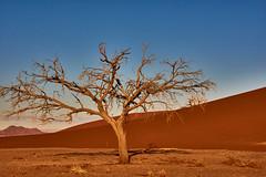 Deserts tree (flowerikka) Tags: deadtrees desert dryclimate dune dünen dunes evening landscape light linien namib namibdesert namibia nature redcolor sand shadow sky sossusvlei sun tree