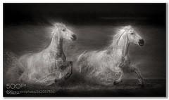 Wary Looks .... (KevinBJensen) Tags: animals galloping nature horses france camargue paul keates risu digital art