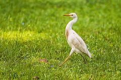 AIRONE NEL GOLF    ----    HERON IN THE GOLF (Ezio Donati is ) Tags: animali animals uccelli birds erba gradd foresta forest fiori flowers africa costadavorio yamoussoukrogolfcountry
