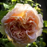 Backlit rose thumbnail