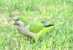 Barcelona Parakeet (suepage_mx) Tags: parakeet bird barcelona