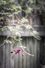 focus on color... (..Ania.) Tags: fence woodenfence vine flowers neighborhood