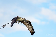 That Time of Year (craig goettsch - out shooting) Tags: sanibel2018 osprey birdofprey avian animal wildlife nature nikon d500