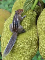 Squirrel examines Jackfruit (SivamDesign) Tags: canon eos 550d rebel t2i kiss x4 300mm tele canonef300mmf4lisusm bird fauna backyard indian palm threestriped squirrel funambuluspalmarum jackfruit artocarpusheterophyllus