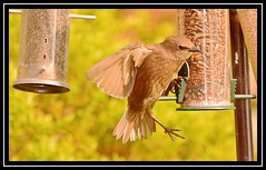 """Starling chicks afledge... and ravenous...!!!"" (NikonShutterBug1) Tags: nikond7100 tamron18400mm birds ornithology wildlife nature spe smartphotoeditor birdfeedingstation bokeh starling fledgling chick 7dwf"