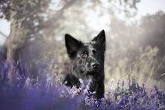 spring beauty (kahora777) Tags: dogphotography dog animalsphotography animals petphotography pet portrait outdor spring flowers germanshepherds blackdog