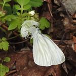 3840e2 butterfly on white fringed phacelia  **Explore** thumbnail
