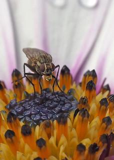 Fly on Osteospermum