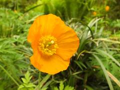 Orange Poppy (Cornishcarolin. Stupid busy!! xx) Tags: cornwall httpswwwnationaltrustorguktrelissick flowers poppy plants nature