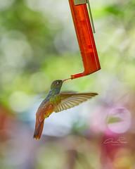 Colibrì (Christian Papagni   Photography) Tags: hummingbird colibrì oasi sant alessio canon eos 5d mark iv ef 100400mm f4556l is ii usm