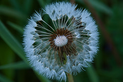 Look within (Nikon Guy 56) Tags: dandelion seeds nature macro nikon d60