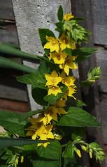DSC_0161 (PeaTJay) Tags: nikond750 reading lowerearley berkshire macro micro closeups gardens outdoors nature flora fauna plants flowers