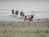 Oryx and calfs coming off the salt pans (Nanooki ʕ•́ᴥ•̀ʔっ) Tags: africa animals etoshanationalpark namibia ©suelambertlrpscpagb oshikotoregion na southernoryx gemsbok calf animal saltpan etoshapan mammal