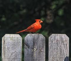 Northern Cardinal (male) (Steve InMichigan) Tags: northerncardinal birds vivitarclosefocus75205mmf38kinokironlens fotodioxpkeoslensadapter