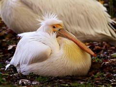 _MUM why is my beak so big (peggy wein) Tags: baby beak bird olympus white pelican