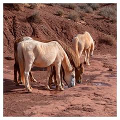 Watering Hole (Paulemans) Tags: monumentvalley sonyfe424105goss 2018usavacation pony ponies paulderoode paulemans utah arizona nikvivenza