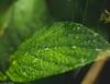 Green Leaf (stefanfortuin) Tags: leaf green nature natuur water drop drup droplet blad leafs macro canon