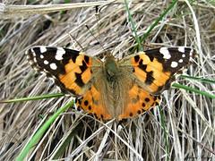 Butterfly 1683 (+1200000 views!) Tags: butterfly borboleta farfalla mariposa papillon schmetterling فراشة