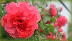 Rosen in meinem Garten (Günni 52) Tags: 2018 blüten blumen rosen rot