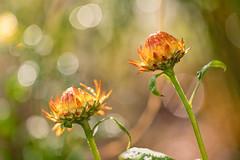 In the Sun (mclcbooks) Tags: flower flowers floral macro closeup denverbotanicgardens colorado