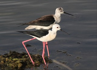 Black-winged Stilt ♂&♀ (Himantopus himantopus)