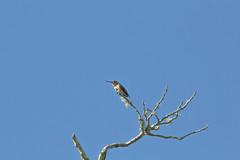 IMG_1020 (armadil) Tags: sanfranciscobotanicalgarden sfbotanicalgarden birdwalk bird birds hummingbird allenshummingbird sanfrancisco sanfranciscobotanicalgardens