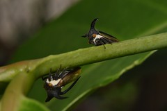 Treehopper Pair (Craig Tuggy) Tags: thailand macro reverse lens tree hopper insect nature