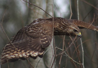 red-shouldered hawk (Buteo lineatus) in explore