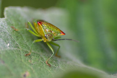 Shield Bug (keeleyainsworth1) Tags: macro tamron90mm nikond500 bug trees