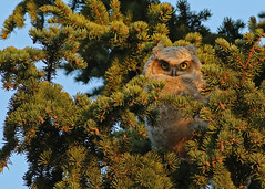 Great Horned Owlet...#5 (Guy Lichter Photography - 4M views Thank you) Tags: canon 5d3 canada manitoba winnipeg wildlife animal animals bird birds owl owls owlet greathornedowl