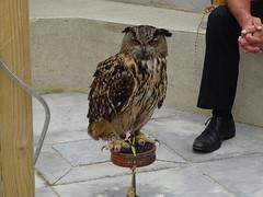 DSC07612 (guyfogwill) Tags: 2018 bird birds brandonsbirthday bubobubo devon eagleowl eurasianeagleowl gbr guyfogwill may owls paignton unitedkingdom paigntontorquay