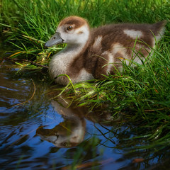 Gosling reflected (FocusPocus Photography) Tags: gans nilgans goose egyptiangoose gänseküken küken gosling vogel bird tier animal wasservogel waterfowl