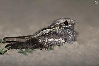 Noitibo da Europa, European nightjar(Caprimulgus europaeus)
