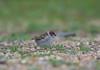 Tree Sparrow JUV 27-05-2018-7677 (seandarcy2) Tags: birds wildlife cambs uk sparrow tree