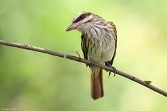 Myiodynastes maculatus (Wildlife and nature - Colombia) Tags: myiodynastesmaculatus streakedflycatcher sirirírayado flycatcher sirirí