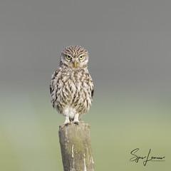 Steenuil-2260 (Sjors loomans) Tags: athene noctua owl bird birds nature natuur outdoor steenuil vogel wildlife sjors loomans steinkauz little holland mochuelo común natuurfotografie