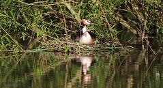 J78A1118 (M0JRA) Tags: birds flight flying wildlife rats walks gardens parks fields trees lakes ponds ducks swans rspb