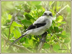 Shrike (todd5524) Tags: birds nature amazing outdoors wild life capture vignette frames trees colors colorful nikon photography photoshop shrike