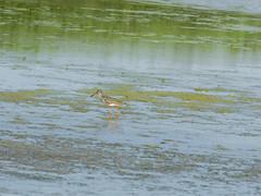 P5300047 (turbok) Tags: rotschenkeltringatotanus tiere vögel wildtiere c kurt krimberger