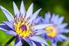 Soleils miniatures (Mike Y. Gyver ( OFF a few days !!! )) Tags: nature flower belgium belgique brussels bruxelles mygphotographiewixsitecommyg2017 myg blue bokeh purple yellow green d90 dof dephtoffield nikonafsdxnikkor18105mm3556g