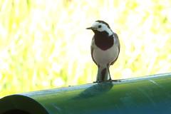 Linavästrik. Motacilla alba (Jaan Keinaste) Tags: olympussh1 eesti estonia elusloodus fauna lind bird linavästrik motacillaalba