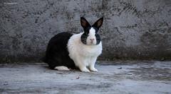7 IMG_9273 b P (Ph Leonardo S.C.) Tags: coniglio bunny