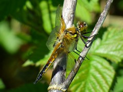 2018-05-28_06-14-49 (ste dee) Tags: dragonfly fourspottedchaserdragonfly insect bokeh creature branch closeup sideview outdoors panasonic fz72